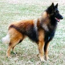 belgian tervuren dog in dog encyclopedia