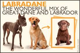 Labrador Color Chart Scientific Labrador Retriever Color Chart Labrador Retriever
