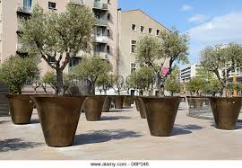 Giant Planters or Flower Pots & Olive Trees near the Town Hall Marseille  France - Stock