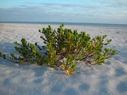 Bowman S Beach Tide Chart Inkberry At Bowmans Beach Sanibel Island Beach Plants Are
