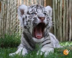 cute baby tiger wallpaper.  Baby Cute Baby White Tiger Cubs Wallpaper  Cats HD To P