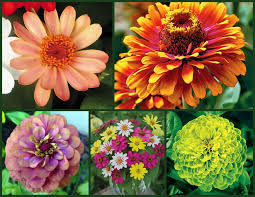 zinnias are easy to start from seed even for beginners get tipore planting flowersflower gardeningflowers