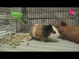 diy fleece bedding for guinea pigs