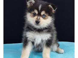 blue eyes pomsky puppies available gift text for a quick respond at 512
