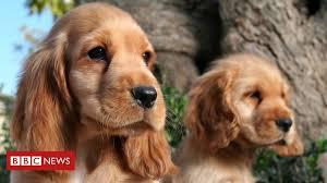 <b>Puppy</b> prices soar during coronavirus lockdown - BBC News