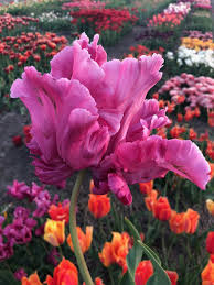 Tulpenzwiebeln Victoria Secret Pink - exklusive rosa Tulp! - Tulip Store