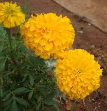 names of mon flowers in english hindi sanskrit tamil