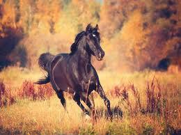 black arabian horse running. Wonderful Running Black Arabian Horse Runs On The Trees And Sky Background In Autumn Stock  Photo  91536725 In Horse Running A