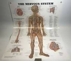 Laminated Anatomy Charts Details About The Nervous System Anatomical Chart Poster Laminated