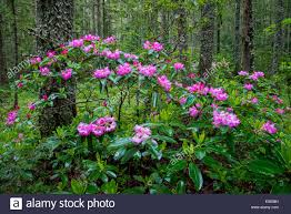 Image result for images of Manning Park BC Rhododendrons