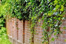 Free Photo Wall Climbing Plants Ivy Green  Free Image On Wall Climbing Plants