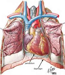 pericardial sac the pericardium fruits and vegetables ormed medical exchange