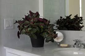 a small shiny maroon waffle plant is 3 from glasshouse works