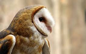 barn owl fun facts part 1