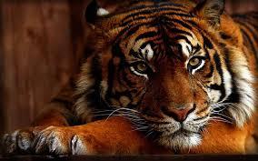tiger face wallpaper hd.  Wallpaper Original Resolution For Tiger Face Wallpaper Hd E