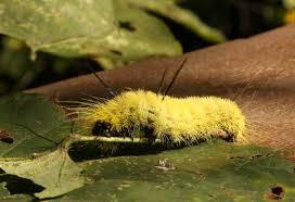 Yellow Caterpillar Identification Chart What Is The Species Of A Caterpillar Best Cat Cute