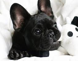 black french bulldog. Simple French All Black French Bulldog Puppy With T