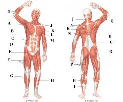 The interactive muscle anatomy diagram shown below outlines the major superficial (i.e. Muscles Of The Body Diagram Quizlet