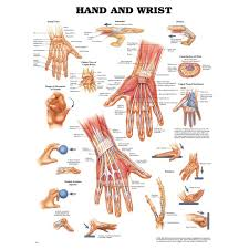 Hand Chart Hand And Wrist Chart