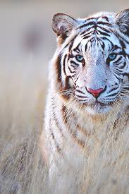 white tiger with blue eyes in snow.  Snow Bengal Tiger  Snow TigerWhite TigersBlue Tigers EyeWhite  Throughout White Tiger With Blue Eyes In
