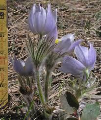 Southwest Colorado Wildflowers, Pulsatilla patens