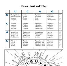 Use Your Codon Chart To Determine The Amino Acid Sequence Biology Codon Chart