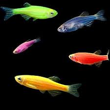 petco glofish. Exellent Petco 5Pack Assorted Danio GloFish For Petco Glofish E