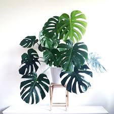 big leaf house plants 5 anti stress philondron via green big leaf house plants big leaf house plants