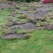 lawn pest damage in lawn