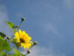 Kết quả hình ảnh cho hoa cúc vàng đẹp
