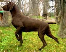 Resultado de imagen para imagenes de perros braco alemán de pelo corto