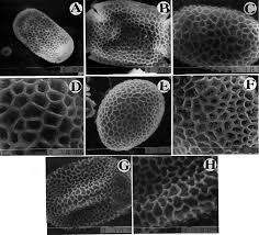 Pollen Flora of Pakistan - XXVI. Balsaminaceae