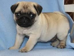 pug puppies for in abilene tx usa 700usd