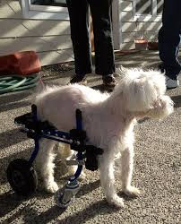 full support dog wheelchair by k9 carts custom made in diy dog wheelchair harness dog wheelchair rear harness
