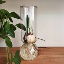 Paper White Flower Bulb How To Force Bulbs For Indoor Blossoms Pistils Nursery