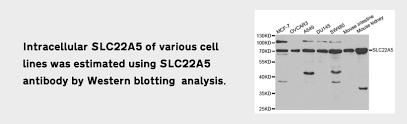 polyclonal antibodies polyclonal antibody production elabscience com