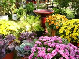 fall garden flowers. Urban Roots Has Received A Nice Selection Of Fall Plants That Are Sure To Keep Blooming Into The Fall. Chrysanthemums In Variety Colors, 12\u2033, 9\u2033, Garden Flowers