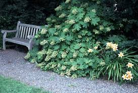 plant oak leaf hydrangea for year round