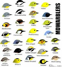 Warbler Id Chart Warbler Help Bird Identification List Of Birds Wild Birds