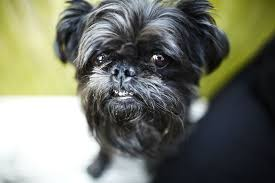 Brussels Griffon Weight Chart Brussels Griffon Griffs Full Profile History And Care