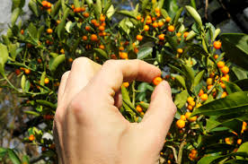 Growing With Plants OH COME ALL YE KUMQUATSKumquat Tree Not Bearing Fruit