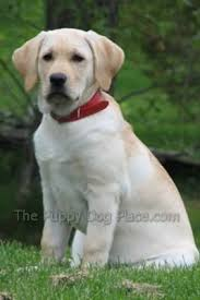 gorgeous yellow lab puppy pictures