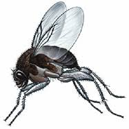 Gnat Identification Chart Get Rid Of Gnats In Your House Gnats Other Flying Bugs