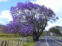 Jacaranda Tree Lilac Tree Flowering Trees Purple Trees