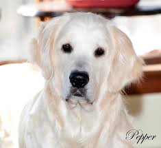 white golden retriever puppies for sale. What Sweet English Cream Golden Retriever She Turned Out To Be Her Past Puppies Have Been Proven Nothing Short Of Fantastic In White For Sale