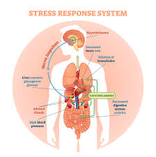 Hpa Axis 3 Ways To Lower Dangerous Cortisol And Reverse Adrenal Gland Fatigue