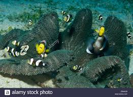 black and yellow clown fish. Brilliant Black Whole Family Of Black White And Yellow Clownfish In Dark Grey Anemone  Looking At To Black And Yellow Clown Fish