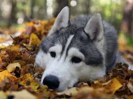 cute siberian husky puppy wallpaper. Perfect Puppy FUNNYWOLFPICTURES  Siberian Husky Wolf HD Wallpapers Download Free  In For  And Cute Puppy Wallpaper S