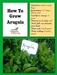 when to plant arugula how to grow arugula fresh organic gardening tips arugula organic gardening and when to plant arugula