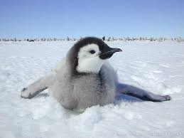 real emperor penguin. Wonderful Real True Wild Life With Real Emperor Penguin F
